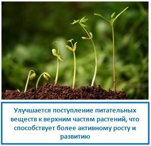 Улучшается поступление питательных веществ к верхним частям растений, что способствует более активному росту и развитию