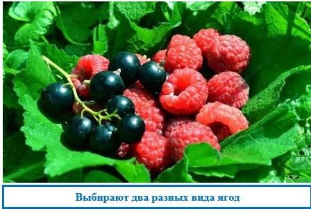 Выбирают два разных вида ягод