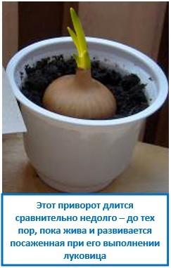 Этот приворот длится сравнительно недолго – до тех пор, пока жива и развивается посаженная при его выполнении луковица